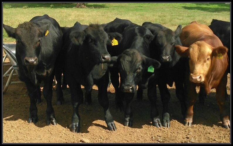 Green Hills Gelbvieh Bulls
