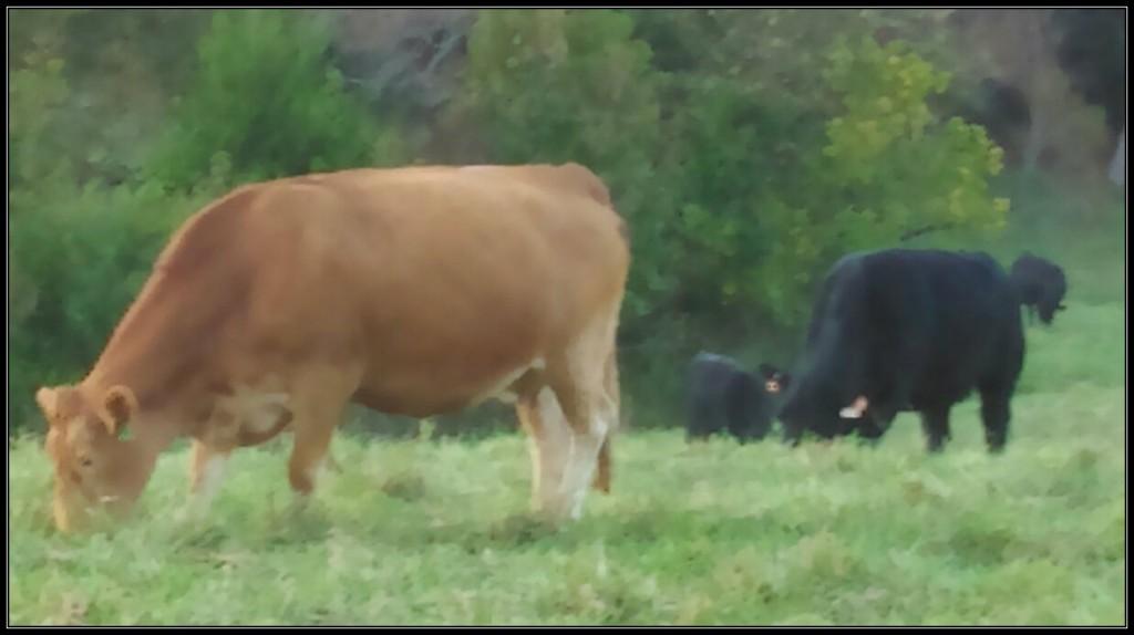 Green Hills Gelbvieh cows